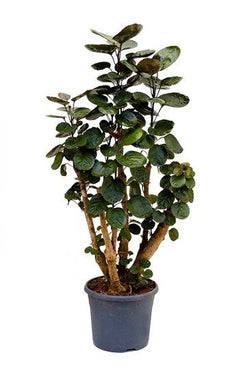 Close up picture of Polyscias Fabian indoor tree available now at Cuemars