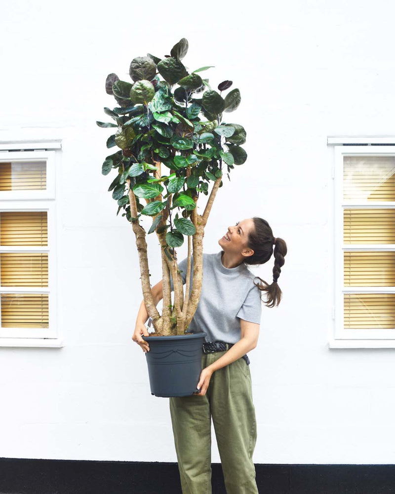 team member with our Polyscias Fabian indoor tree available now at Cuemars