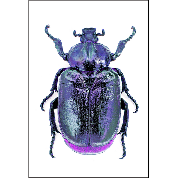 Purple Beetle - Insect Print