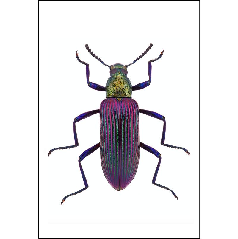Purple darkling  Beetle - Insect Print