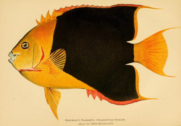 Vintage Holacanthus Tricolour Fish Study by Julius Bien | A3 Vintage Bathroom Prints at Cuemars