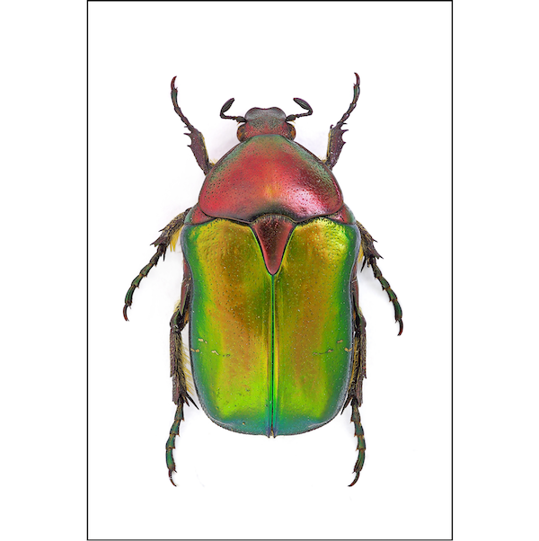 Rose Chafer | Green & Red Beetle A3 Insect Print | Available at Cuemars