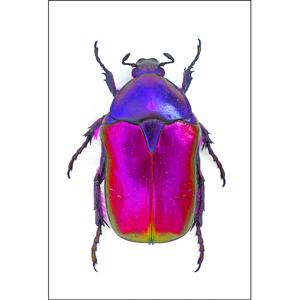 Rose Chafer | Pink & Violet Beetle A3 Insect Print | Available at Cuemars