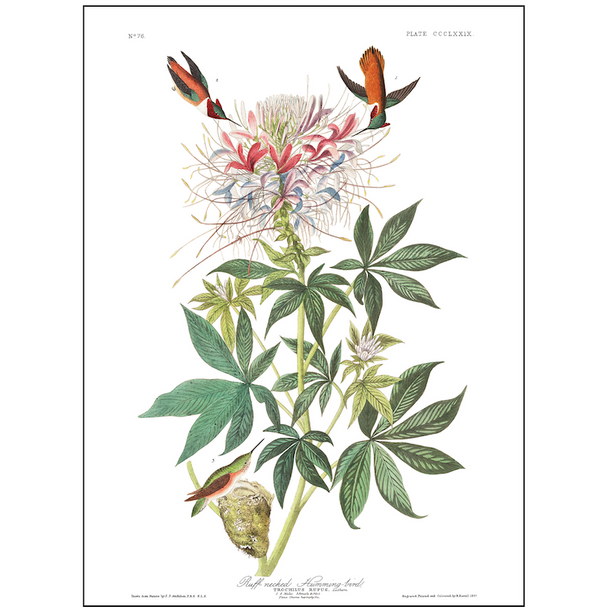 a3 bird vintage print by Audubon showcasing the splendor of the American ruff-necked hummingbirds available at cuemars.com