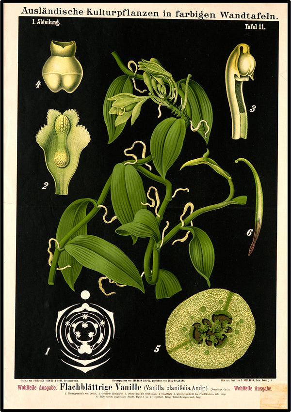 Botanical Print featuring Vintage Study of a Vanilla Planifolia Plant. A3 Wall Print available at Cuemars London.