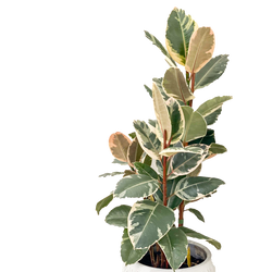 Variegated Rubber Plant available for collection at our Shoreditch plant shop