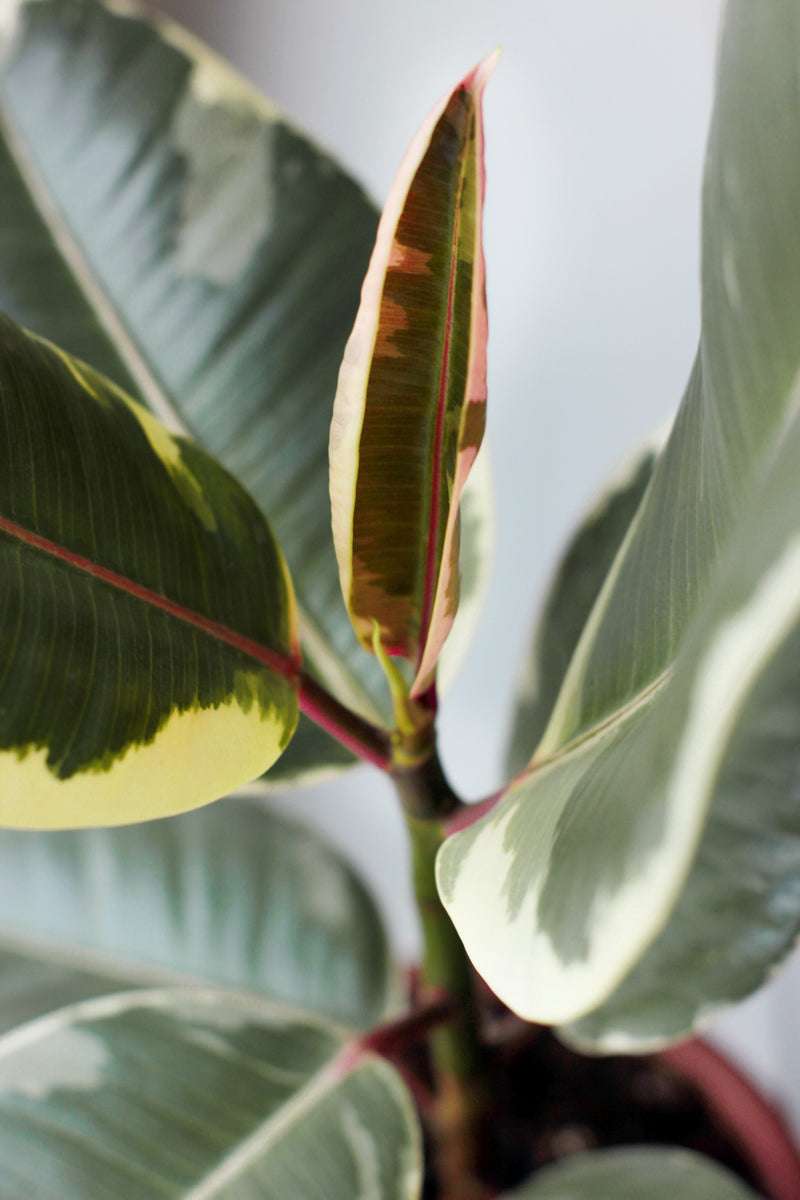 Close up picture of a variegated rubber plant or ficus elastica available to buy at Cuemars