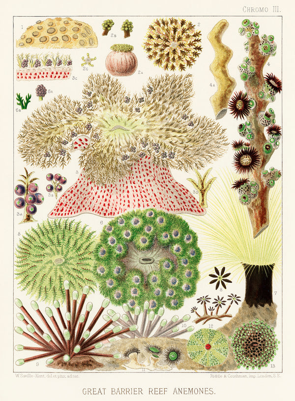 William Saville-Kent's Great Barrier Reef III Vintage Print 1893. A3 Wall Print available at Cuemars London.