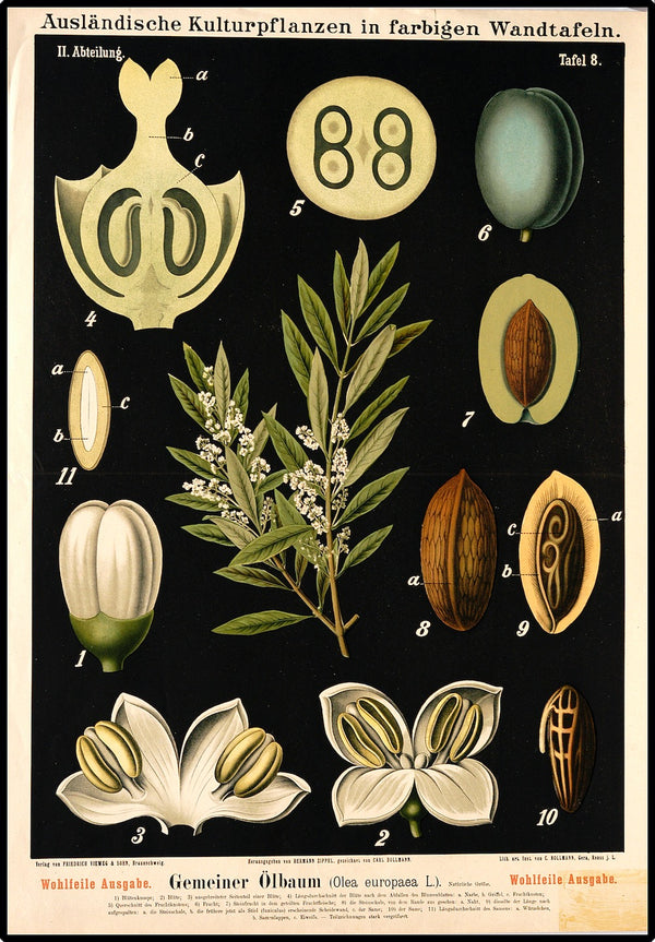illustrations of parts of the olive tree on a black background from a vintage German study of botanical plants