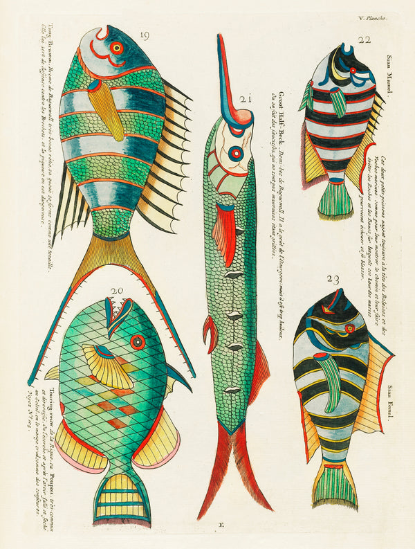 Vintage Aquatic Study of five Fantastical Fish by Louis Renard. A3 Wall Prints and Framing available at Cuemars UK.