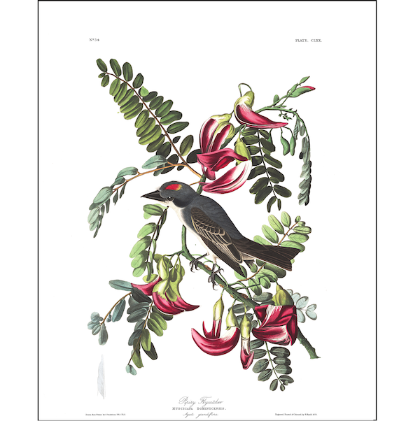 a3 bird vintage print by Audubo showcasing the splendor of the American Willow Flycatcher available at cuemars.com