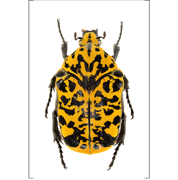 Yellow and black beetle print insect artwork Cuemars