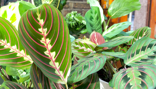 How to look after a prayer plant cuemars