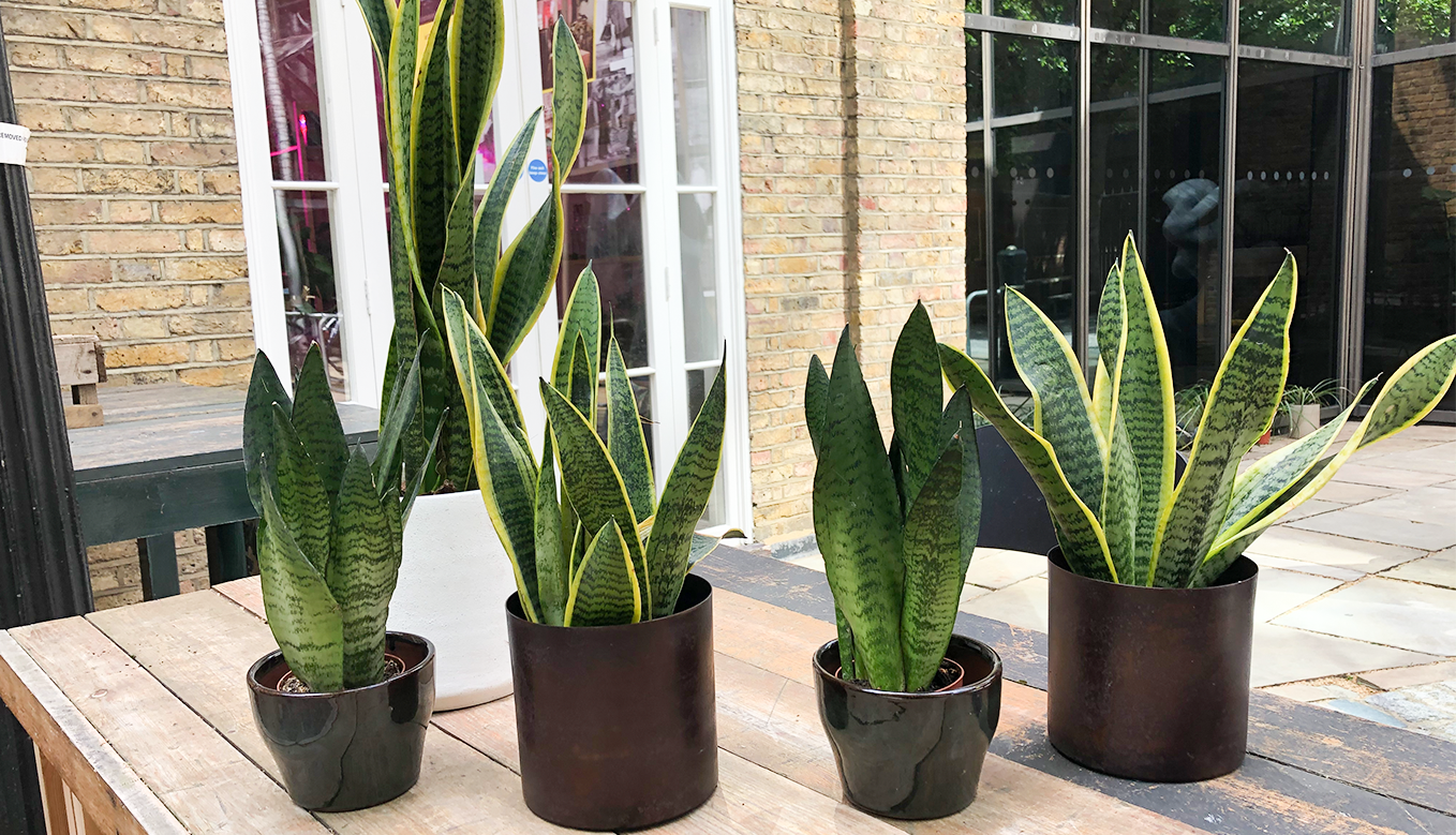 How to look after a snake plant cuemars