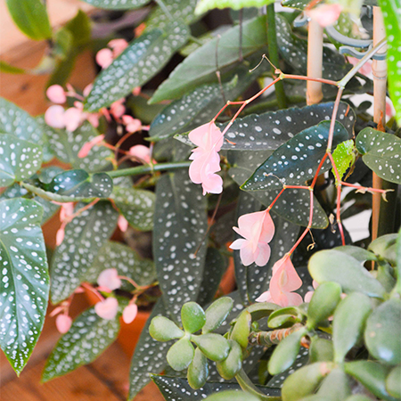 Cane Begonia with dotty long leaves and pale pink flowers