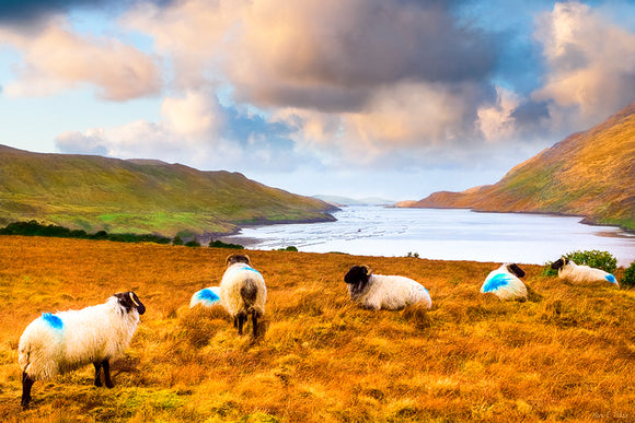 Sheep Grazing by the Sea - Irish Landscape Art Print