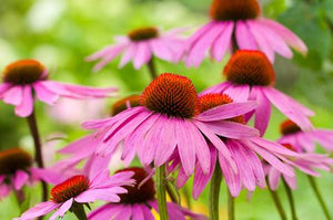 Using Echinacea to Treat the Common Cold: Benefits & Side Effects