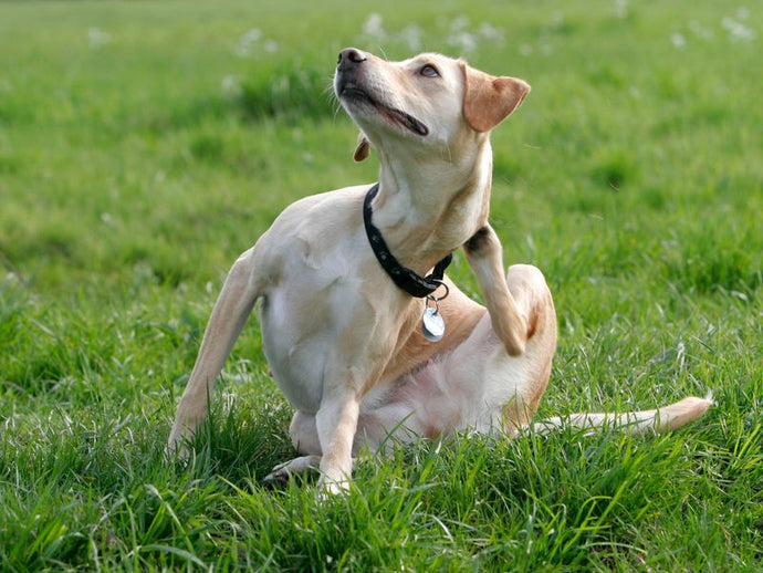 Common Causes of Itching in Dogs
