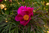 Fern leaf peony Little Red Gem