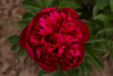 red peony Many Happy Returns