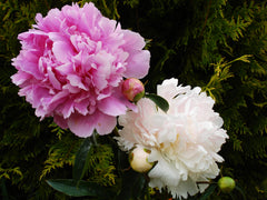 Mr. Ed peonies bloom in either color or a combination Brooks Gardens