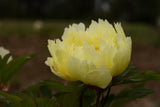 Yellow Dream Itoh intersectional peony