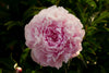 Peony Package - 5 Fabulous Cut Flower Garden Varieties