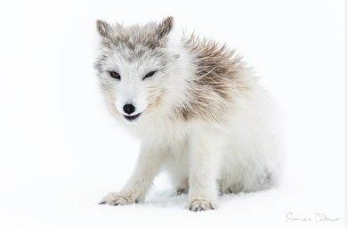 The white Arctic Fox: Customizable size & print . Auction  ( Ouiii app)
