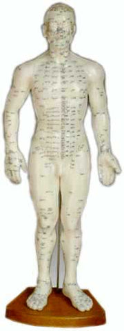 Male Meridian Model, 360 points and 14 meridians, 50 cm - The Acupuncture Supply Co
