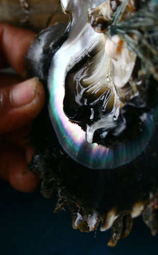 Inside of a black lip pearl oyster