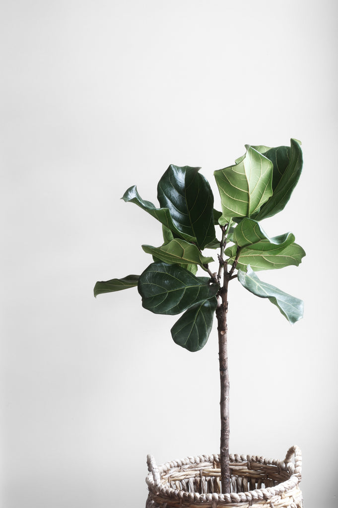 A COMPLETE GUIDE TO FIDDLE LEAF FIGS