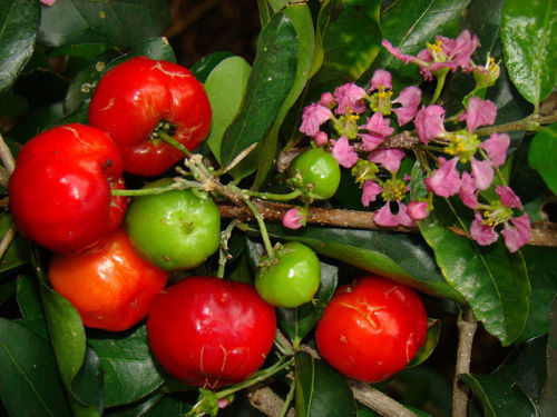 Free Shipping - Barbados Cherry (Sơ ri Gò Công) - 3 Feet Tall - Ship in 3 Gal Pot