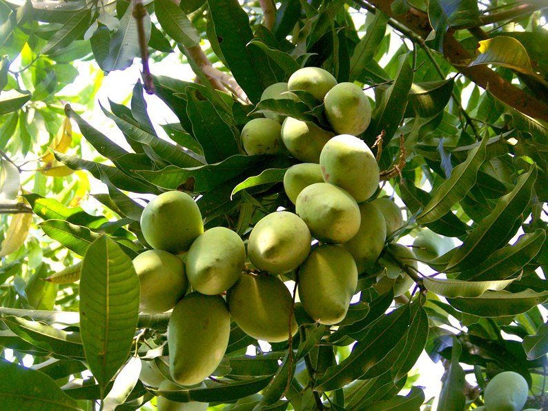 Free Shipping Manila Mango Tree  - 2 to 3 Feet Tall -  Ship in 3 Gal Pot