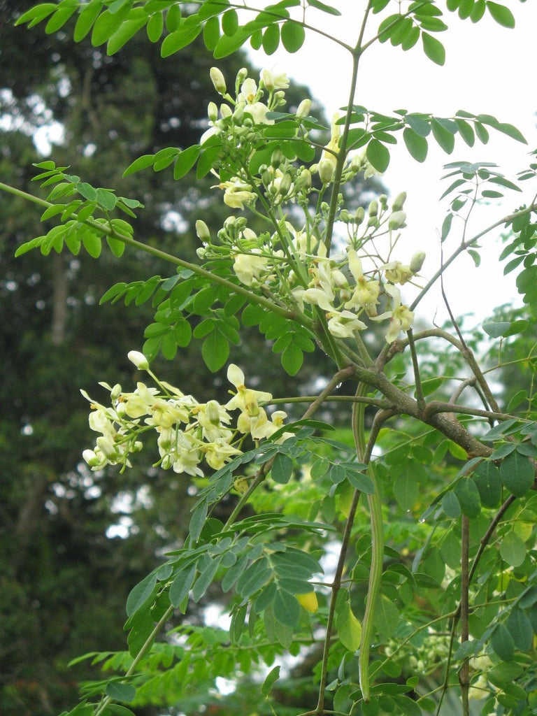 "Moringa Tree -  1  Stater Plant - 4"" Tall - Ship in 3"" Pot"