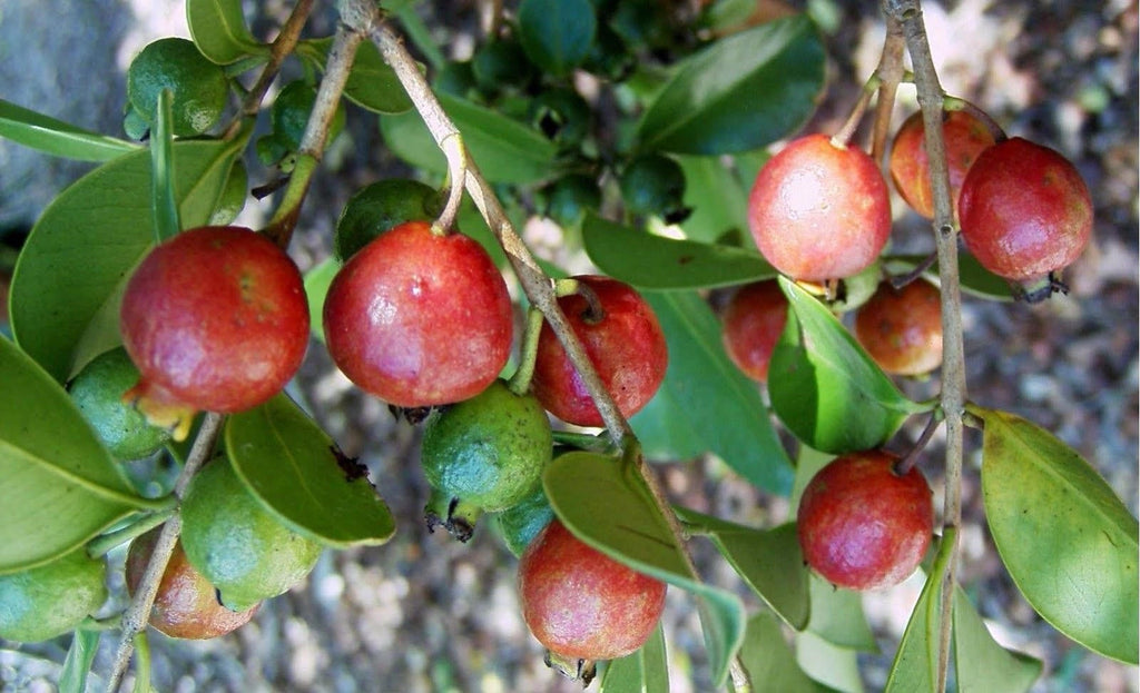 Free Shipping - Strawberry Guava Red Psidium cattleianum - 1 Starter Plant - 1 Feet Tall - Ship in 1 Gal Pot