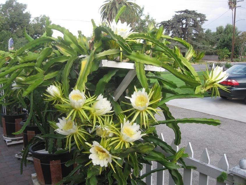 Vietnamese Giant Dragon Fruit Plant - 1 Plant -  1 Feet Tall