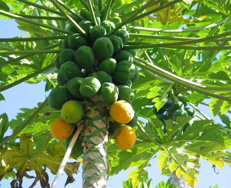 "Free Shipping - Hawaii Solo Papaya - 1 Starter Plant  -4"" to 10""  Tall - Ship in 6"" Pot"
