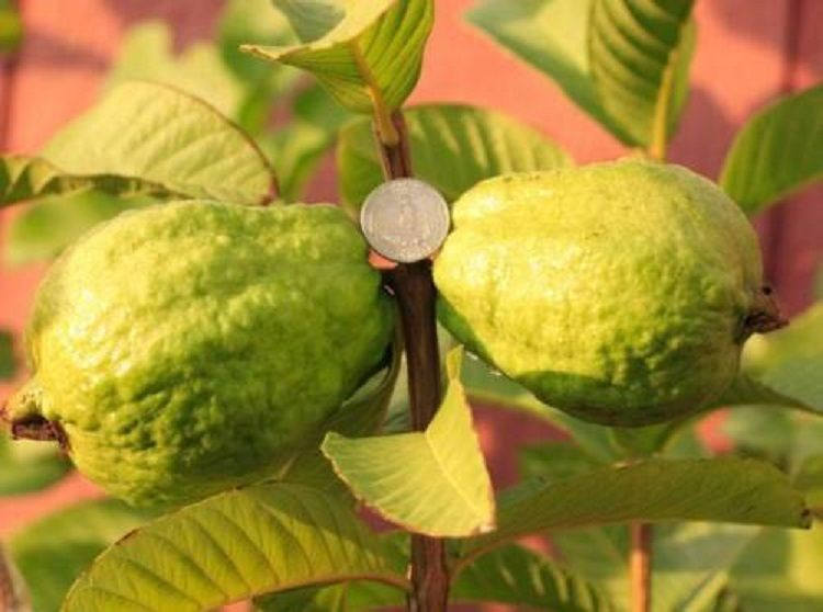 Vietnamese Giant White Flesh Guava  -  Oi Xa li - 3  Feet Tall - Ship in 3 Gal Pot
