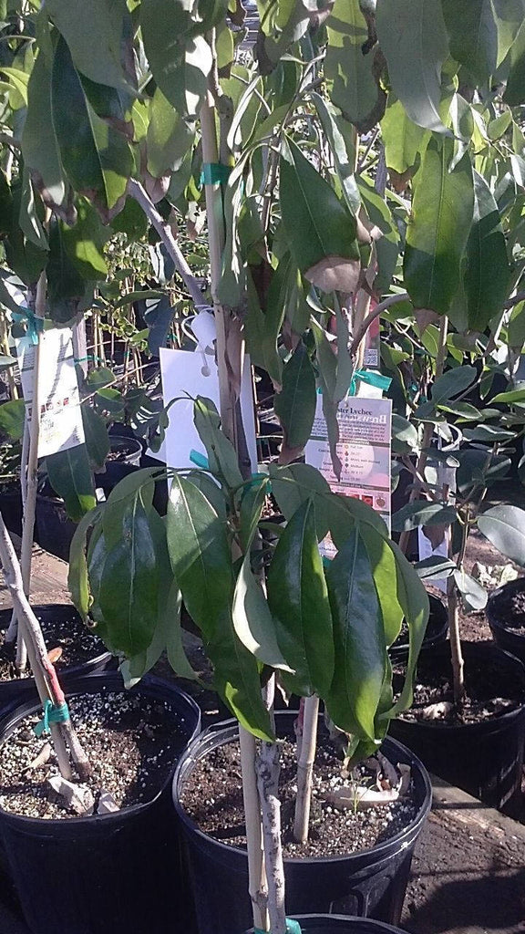Free Shipping - Sweet Heart Lychee - 2 Feet Tall Airlayered -  Tree Ship in 3 Gal Pot