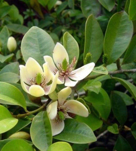 Free Shipping  Banana Shrub (Michelia figo) - 1  Plant - 1 Feet Tall - Ship in 1 Gal