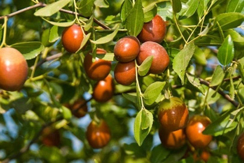 Sugarcan JUJUBE TREE - 4 Feet Tall Grafted Tree