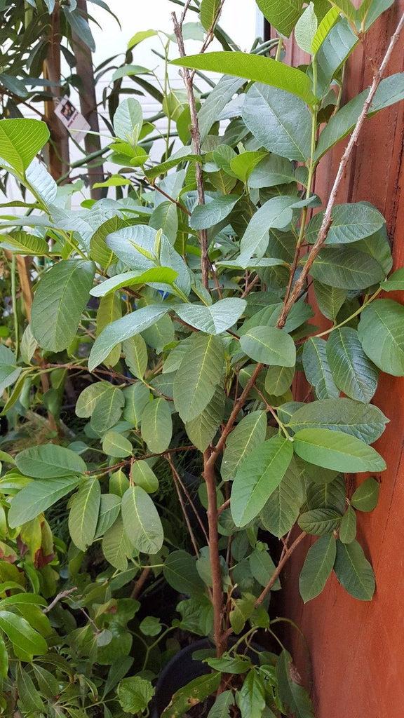 Free Shipping - Guava White Flesh - 4  Feet Tall -  Ship in 3 Gal Pot