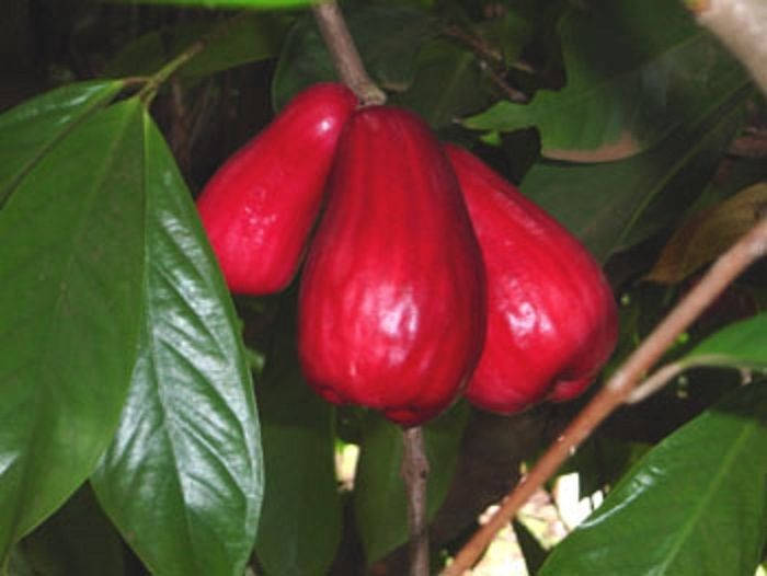 Free Shipping - MALAY APPLE - Syzygium malaccense - Mountain Apple - 2 Feet Tall - Ship 3 Gal Pot