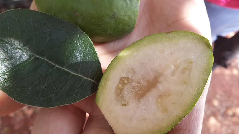 Free Shipping - Pineapple Guava Feijoa sellowiana - 1  Feet Tall  - Ship in 1 Gal Pot