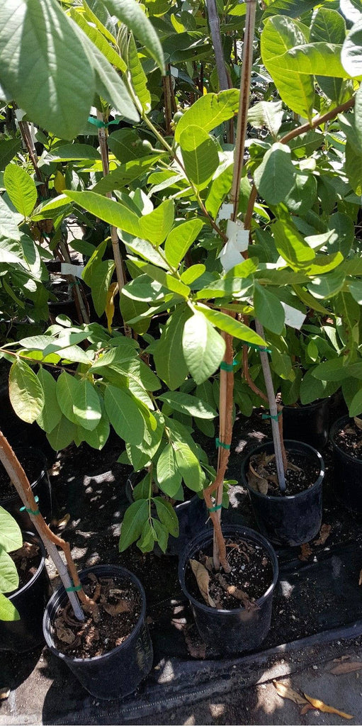 Free Shipping - Taiwan Century Guava - White Flesh - 3 Feet Tall - Ship in 3 Gal Pot