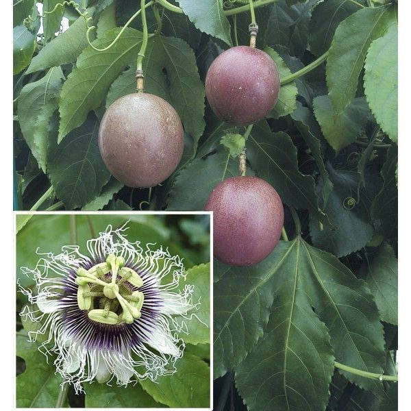 Purple Passion Fruit - 1 Plants - 1 to 2 Feet Long - Ship in 1 Gal Pot