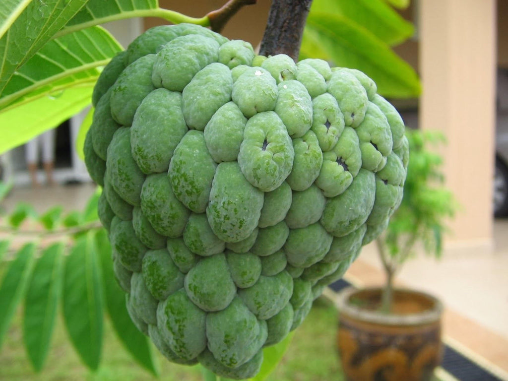 Sugar Apple Tree - 3  Feet Tall - Ship in 3 Gal Pot