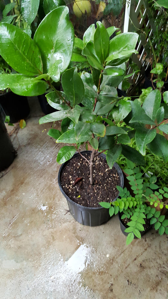 Grumichama Cherry  - 1 Plants - 1 to 2 Feet Tall - Ship in 1 Gal Pot
