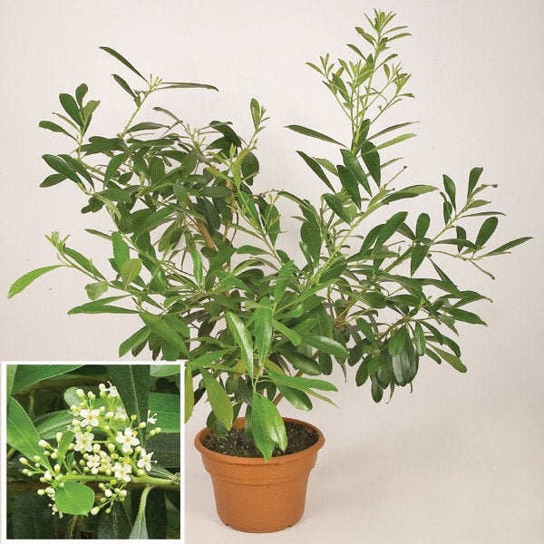 Yerba Mate (Ilex paraguariensis) male    -  1 Plants - 1  Feet Fall -  Ship in 1 Gal Pot
