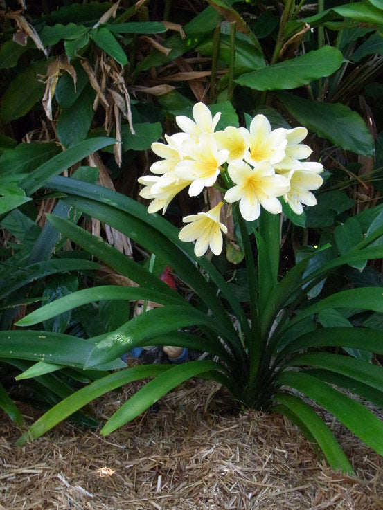 Clivia miniata 'Solomone' - Yellow Clivia - 1 Plants - 1 to 2  Feet Fall -  Ship in 1 Gal Pot